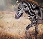 Zebras - G