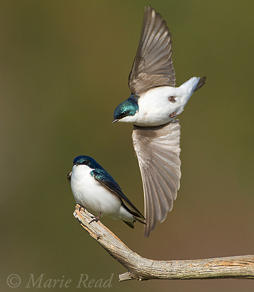Tree Swallows (Tachycineta bicolor), pair near their nest site, one flies past the other perched. New York, USA