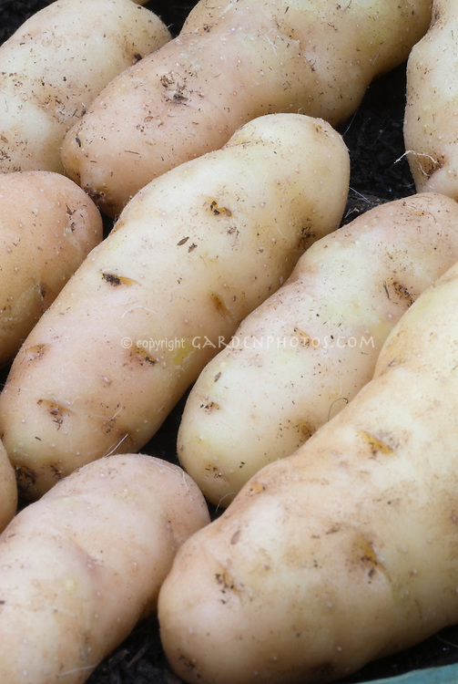 Potatoes 'Anya' (Desiree x Pink Fir Apple hybrid) with distinct eyes and red blush. SECOND EARLIES. Second Early type