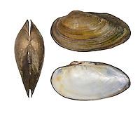 Swollen River Mussel - Unio tumidus