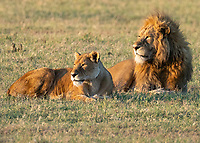 Lion and Lioness in Sunrise Light