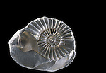 Ammonite fossil mold
