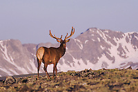 Elk, Wapiti, Cervus elaphus,bull in velvet and mountains,Rocky Mountain National Park, Colorado, USA, June 2007