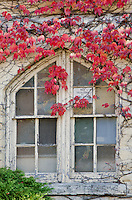 A window on St Mary Carmelite Church is surrounded by autumn colored Ivy, Downtown Joliet, Illinois