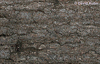 0507-08mm  Camouflaged Flat-tailed House Gecko, Cosymbotus platyurus © David Kuhn/Dwight Kuhn Photography