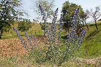 Gewöhnlicher Natternkopf, Echium vulgare, Viper´s Bugloss, Vipérine