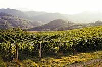 Vitigno presso Fortunago (Pavia) --- Vineyard near Fortunago (Pavia)