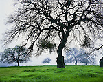 Oak trees on a foggy morning. San Luis Obispo County, CA.