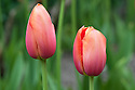 Tulip 'Avignon', late April. A Single Late Group tulip, red with orange-yellow edges to its petals.