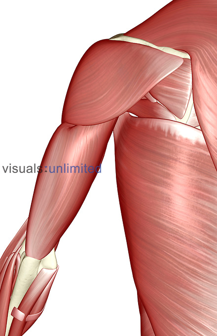 A posterior view of the muscles of the shoulder. Royalty Free