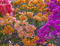 Virgin Gorda, British Virgin Islands, Caribbean <br /> Colorful blossoms of Bouganinvillea blooming against a wall.