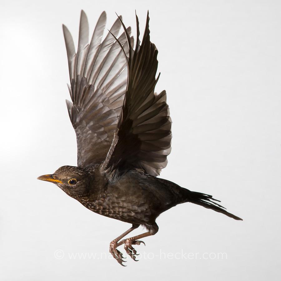 Amsel, Schwarzdrossel, Weibchen, Flug, Flugbild, fliegend, Turdus merula, Blackbird, female, flight, flying, Merle noir
