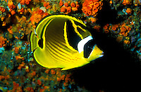 A  colorful Raccoon Butterflyfish ( Chaetodon lunula ) on hawaii's coral reefs. Hawaiian name is Kikakapu.