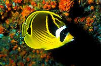 A  colorful Raccoon Butterflyfish ( Chaetodon lunula ) on hawaii's coral reefs. Hawaiian name is Kikakapu.