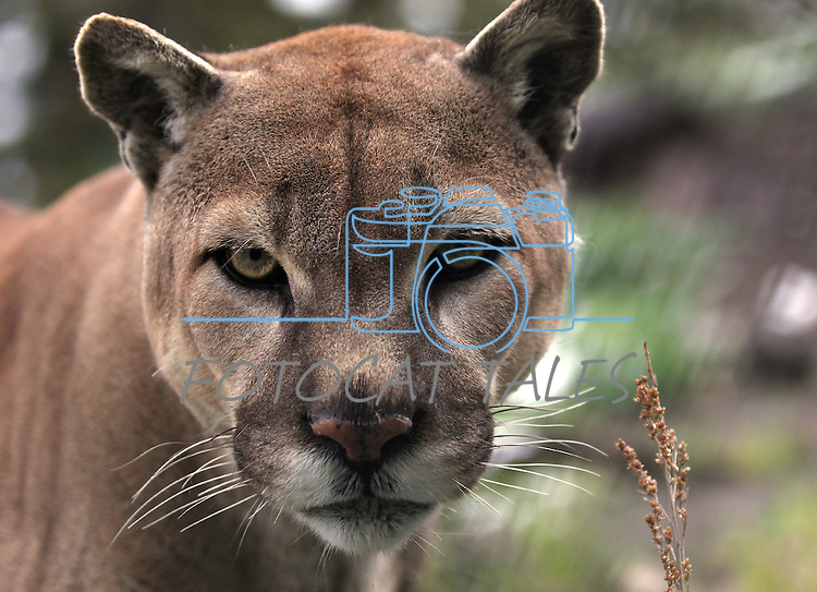 Tonka, a mountain lion who was trained for studio work, films and magic acts, keeps a watchful eye at the Animal Ark in north Reno, Nev, on Tuesday, May 17, 2011. Tonka, a male born in 1995, wasn't well suited for the work and has lived at the wildlife refuge since 1999..Photo by Cathleen Allison