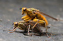 Yellow Dungflies {Scathophaga stercoraria} mating on cow dung.