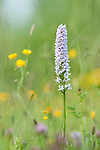 Common spotted orchid, Dactylorhiza fuchsii, in traditional hay meadow. Clattinger Farm, Wiltshire. UK. This habitat has been reduced by 98% in the UK since the Second World War. This is largely due to the intensification of farming practices.
