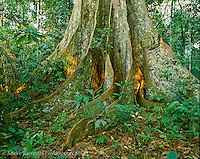 Buttressed base of emergent canopy tree (Sloanea obtusifolia), locally known as Huangana Caspi, in primary lowland tropical rainforest, Manu National Park, Madre de Dios, Peru.