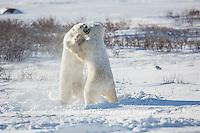 01874-13407 Polar Bears (Ursus maritimus) sparring, Churchill Wildlife Management Area, Churchill, MB