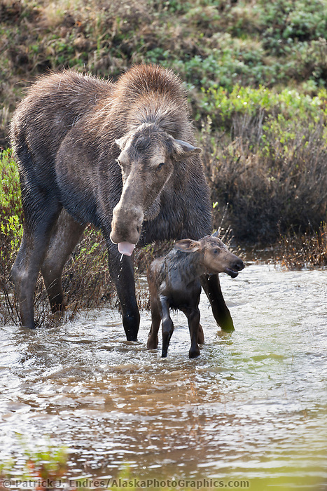 Cow moose and calf rest in a tundra pond as the Grant Creek wolf pack strategizes their attack, Denali National Park. In the end, the wolves got the baby moose.