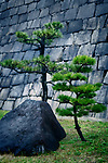 Japanese black pine trees, Pinus thunbergii, and a rock in front of stone castle wall in Osaka, Japan