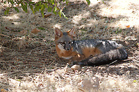 GRAY FOX FOUND A COOL SPOT