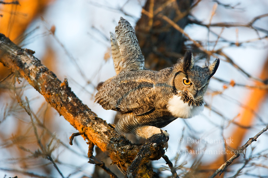 A Great Horned Owl calls from a Garry Oak tree in Yakima County, Washington at dawn, one early spring day.