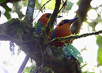 Pair of rufous motmots