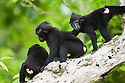 Young crested black macaques playing in tree, (Macaca nigra), Indonesia, Sulawesi; Endangered species, threatened through loss of habitat and bush meat trade, species only occurs on Sulawesi.