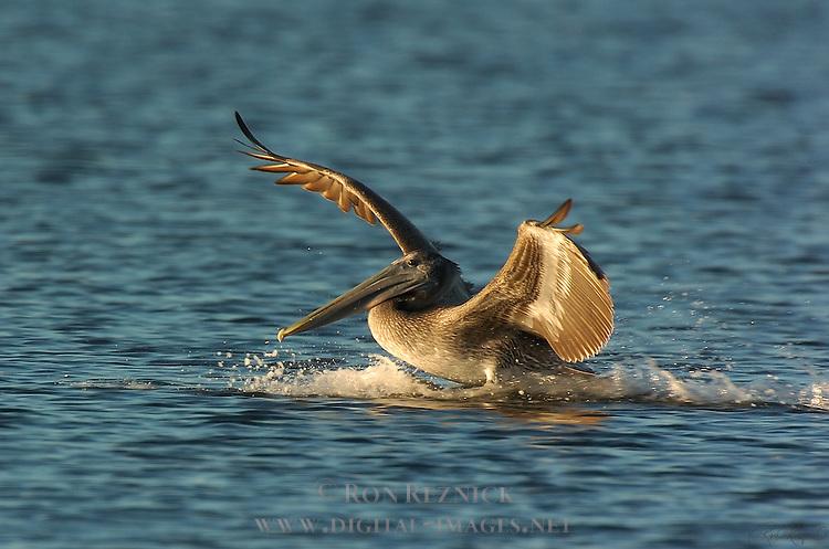 Brown Pelican Landing at Sunrise, Sanibel Island, Florida