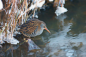 Water Rail (Rallus aquaticus) when stopping for a break from feeding seems to enter trance like state, remaning still as if pondering next move. In a niche, feeding in a ciruit around a little opening in a ditch whilst all water bodies are frozen for other birds in harsh winters. The sounds emited by the Water rail are described, grunts followed by a high-pitched piglet-like squeal and ending in more grunts.