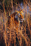 Bandhavgarh National Park, India --- Bengal Tiger Sitting in Tall Grass