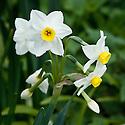 Narcissus tazetta subsp. lacticolor 'Grand Monarque', early April.