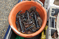 Lobsters just unloaded from a fishing boat at  Weybourne, Norfolk.
