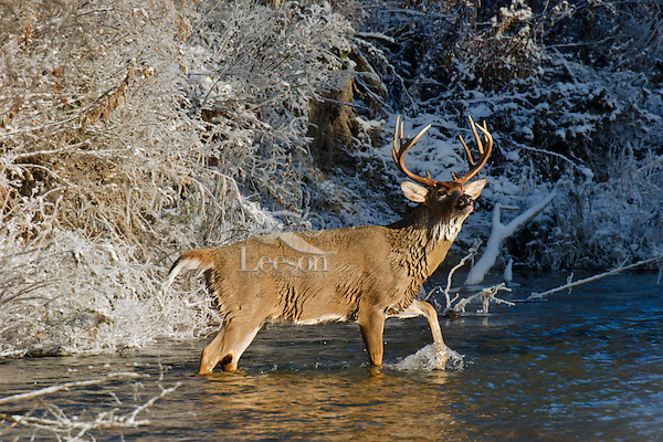 White-tailed Deer buck (Odocoileus virginianus) wading in stream, Western U.S., Late Fall.