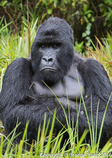 Gorilla Silverback Portrait2 Rwanda 2015