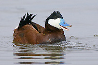 Ruddy Duck performing a courtship display on a lake