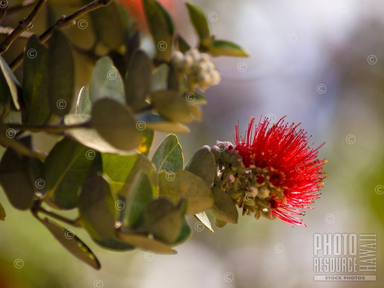 A close-up of an 'ohi'a lehua blossom along the Pu'u Wa'awa'a Ahupua'a crater hike, Big Island.