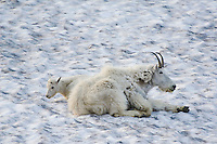 Mountain Goat,Oreamnos americanus, adult with young laying on snow shedding winter coat, logan pass, Glacier National Park, Montana, USA, July 2007
