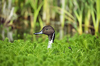northern pintail, or pintail, Anas acuta, adult, in pond, Normandy, France