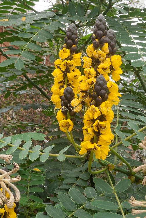 Senna didymobotrya aka S. didymotropa (Popcorn Cassia, Peanut Butter Cassia) in flower in yellow flowers