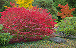 Kubota Gardens, Seattle, WA: Vibrant red autumn leaves of burning bush (Euonymus alatus) accentuates a garden bed.