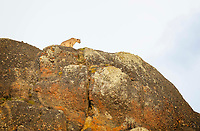 "He was just laying down on the edge of the cliff, eyeing us dismissively. When he saw movement from a group of Guanacos, this wild Puma (Puma concolor) sprung to his feet. Looks like he already had a full belly, but that didn't stop him from investigating another potential meal. After following these cats on foot for days in their natural habitat, we gained a new appreciation of why they are called ""Mountain Lions"" in North America. Near Laguna Amarga area,  Torres del Paine National Park, Patagonia, Chile."