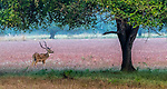 India, Maharashtra, Tadoba National Park , chital or cheetal (Axis axis), also known as spotted deer, chital deer, and axis deer in a meadow of reddish deenanath grass (Pennisetum pedicellatum)