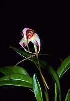 Masdevallia schmidt-mummii 'Elena' orchid species