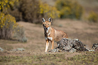 Ethiopian Wolf in the Bale Mountains of Ethiopia
