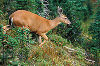 Columbia Blacktailed Deer, Olympic National Park, Washington