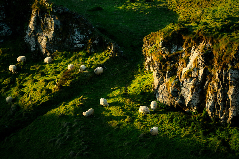 Grazing sheep on hillside of Dunseverick Castle ruins . Northern Ireland