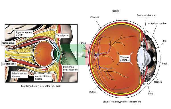 This medical exhibit series depicts the normal anatomy of the eye and orbit from a  sagittal (cut-away) view. Labeled structures include the superior and inferior rectus muscles, inferior oblique muscle, orbicularis oculi muscle, optic nerve, fovea, choroid, sclera, posterior chamber, retina, vitreous chamber, lens, iris, pupil and cornea.