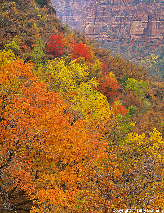 Zion National Park, UT<br /> Hillside of oak, ash, and maple hardwoods in fall color with distant walls of Navajo sandstone in Zion Canyon
